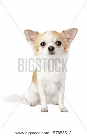 Pretty Chihuahua dog portrait isolated