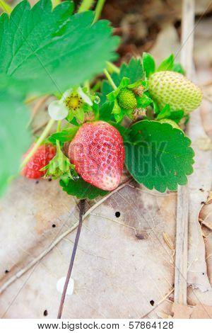 Strawberry At Chiangmai