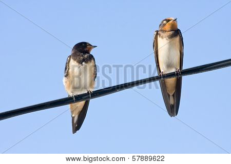 Portrait Of Swallows