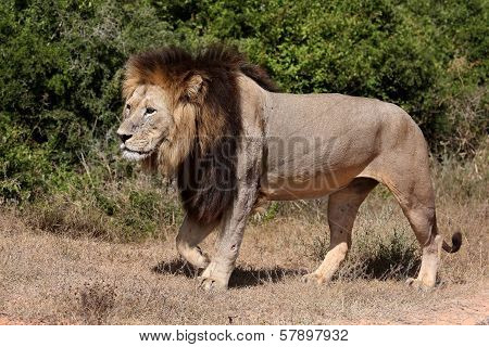 Male Lion Walking