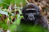 picture of endangered species  - Portrait of a western lowland gorilla  - JPG