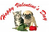 stock photo of pug  - British Shorthair kitten and little Pug puppy with a red rose for Valentines day - JPG
