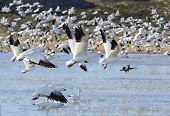 stock photo of snow goose  - Hundreds of snow geese taking off from lake at Bosque del Apache Wildlife Reserve in New Mexico - JPG