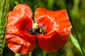picture of cricket insect  - macro shot of a bright red poppy with a small cricket inside - JPG