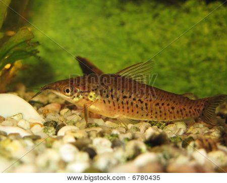 Porthole Catfish (dianema Longibarbis)