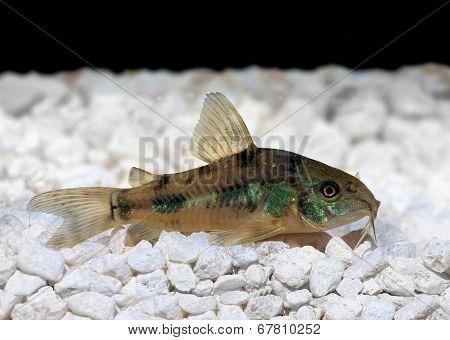 Pepper Cory Corydoras paleatus catfish