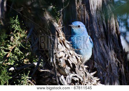 Mountain Bluebird Hiding In A Pinyon Pine Tree