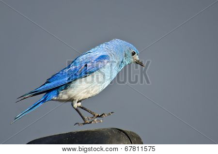 Male Mountain Bluebird Suspended In Midair