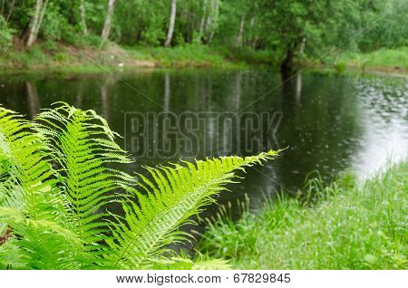 Fern Leaves And Pond Glittering Raindrops