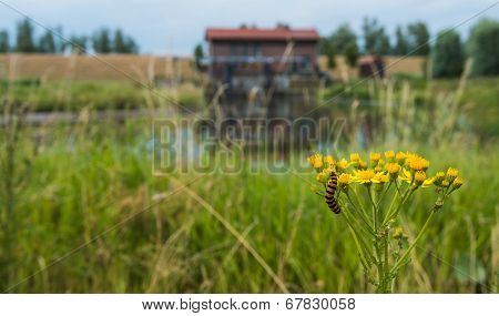 Yellow Flowering Ragwort Plant With A Caterpillar.