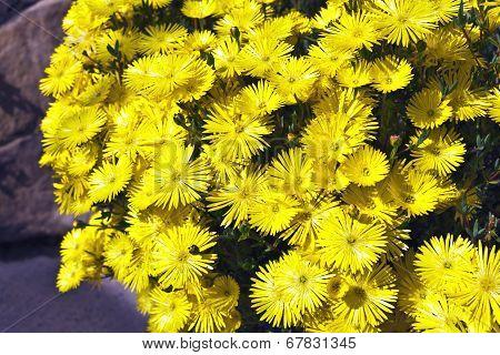 Yellow Lamparanthus flowers.