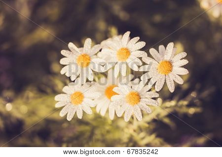 White Daisy Or Leucanthemum Vulgare And Water Drops