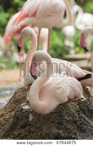 Flamingo Rest On Ground