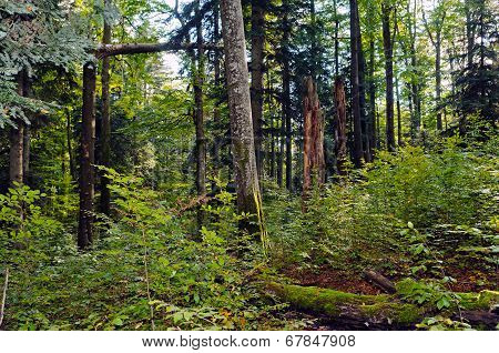 Beech-fir forest reserve