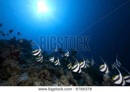 Schooling Bannerfish, Ocean And Coral