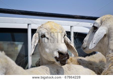 Ewes on a car