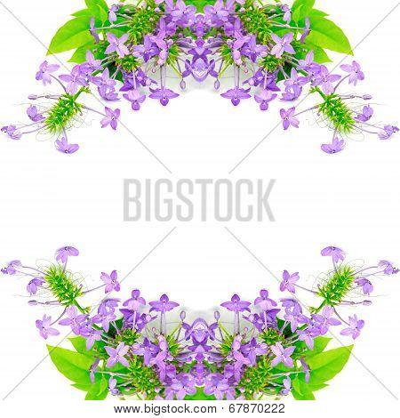 Violet Ixora Flower