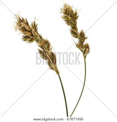 SAND SEDGE Carex grass plant  (lat. Carex arenaria) (Cyperaceae)  Isolated on white background