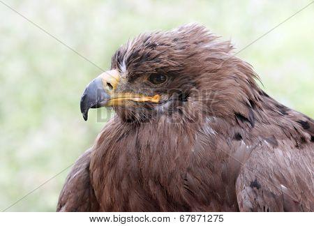 Old Golden Eagle