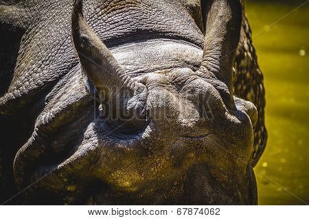 danger, Indian rhino with huge horn and armor skin