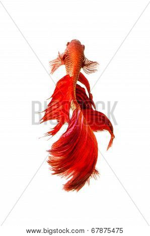 Red Siamese Fighting Fish isolated on white