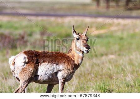 Mule Deer In Bryce Canyon
