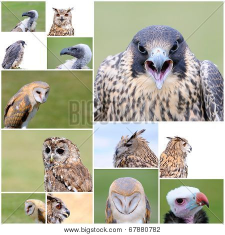 Falconry Birds.