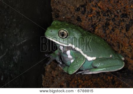 Frogs-