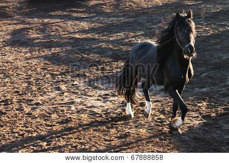 Black running horse