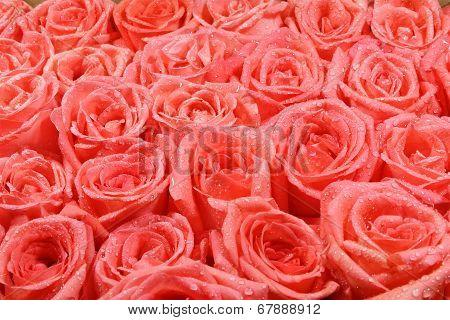 Orang Rose Background