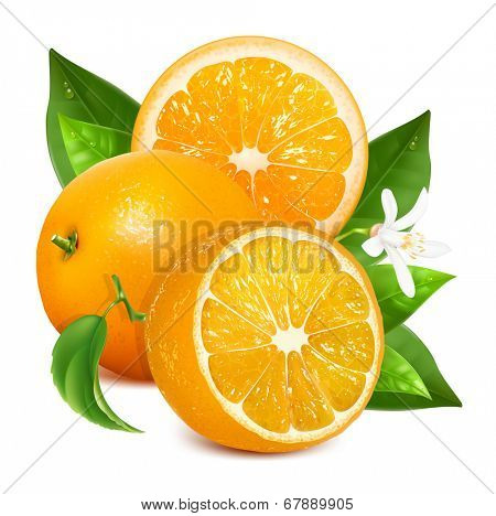 Fresh ripe oranges with leaves and blossom. Vector illustration for your design. Packing orange juicy.