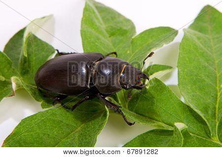 Stag Beetle Female (lucanus Cervus)