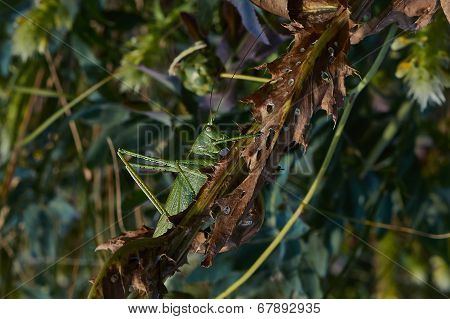Locusts Eat Of Green Leaves.