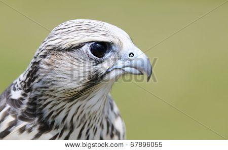 Saker Falcon, Falco Cherrug.