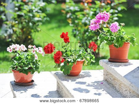 Outdoor flowerpots. Pink and red flowers in pots on ledge. Geraniums in pots on outside steps