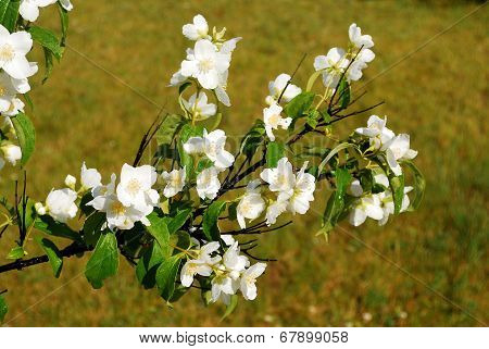 Beautiful Flowers Of A Jasmine On The Grass