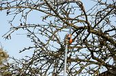 foto of tree trim  - pruning fruit tree cutting branches at spring seasonal garden work - JPG