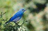foto of bluebird  - A Male Mountain Bluebird Perched in a Tree - JPG