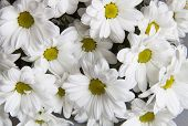 stock photo of chrysanthemum  - Background of white chrysanthemums near bright flower - JPG