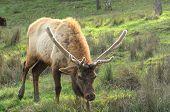 stock photo of cervus elaphus  - Roosevelt Bull Elk - JPG