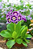 stock photo of cowslip  - Primula auricula, often known as auricula, mountain cowslip or bear