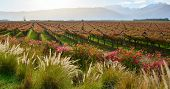 picture of ceres  - Landscape with vineyard in autumn colors and mountains - JPG