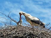 foto of shadoof  - Crane feeding its young on the sky background - JPG