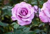 foto of portland oregon  - Fragrant Rose in Full Bloom - JPG