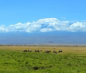 stock photo of wildebeest  - Blue wildebeests in the African wild habitat - JPG