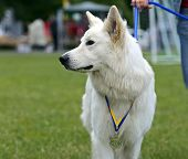 pic of swiss shepherd dog  - Swiss Shepherd dog at a dog show in the spring - JPG