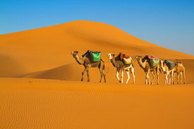 foto of caravan  - Camel caravan moving in Sahara desert in morning - JPG