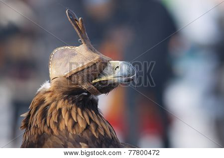 Golden Eagle (aquila Chrysaetos). Kazakhstan, Mongolia.