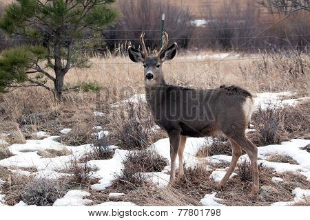 Young deer in velvet