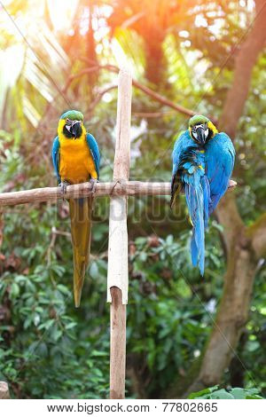 Two beautiful adult blue and yellow macaw perched on a wooden post basking in the sun